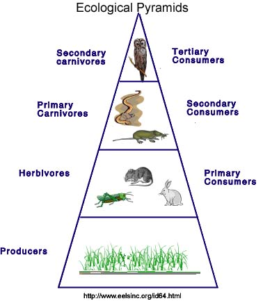 Ecological Energy Pyramid(Trophic Levels)