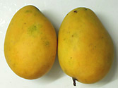 The Mango Fruit Caribbean Tropical Fruit