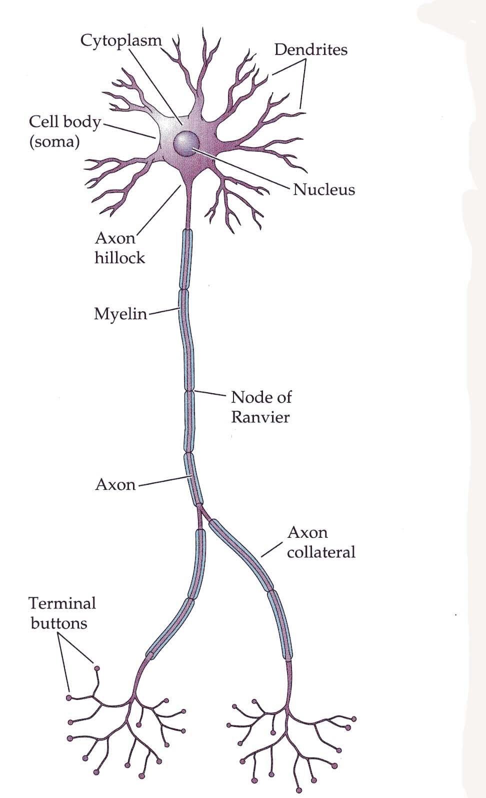 functions of neurons