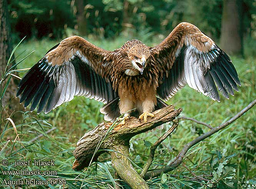 Imperial eagle endangered