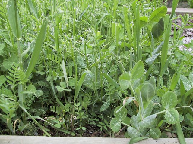 Example of Cover Crop - What is Cover Crop