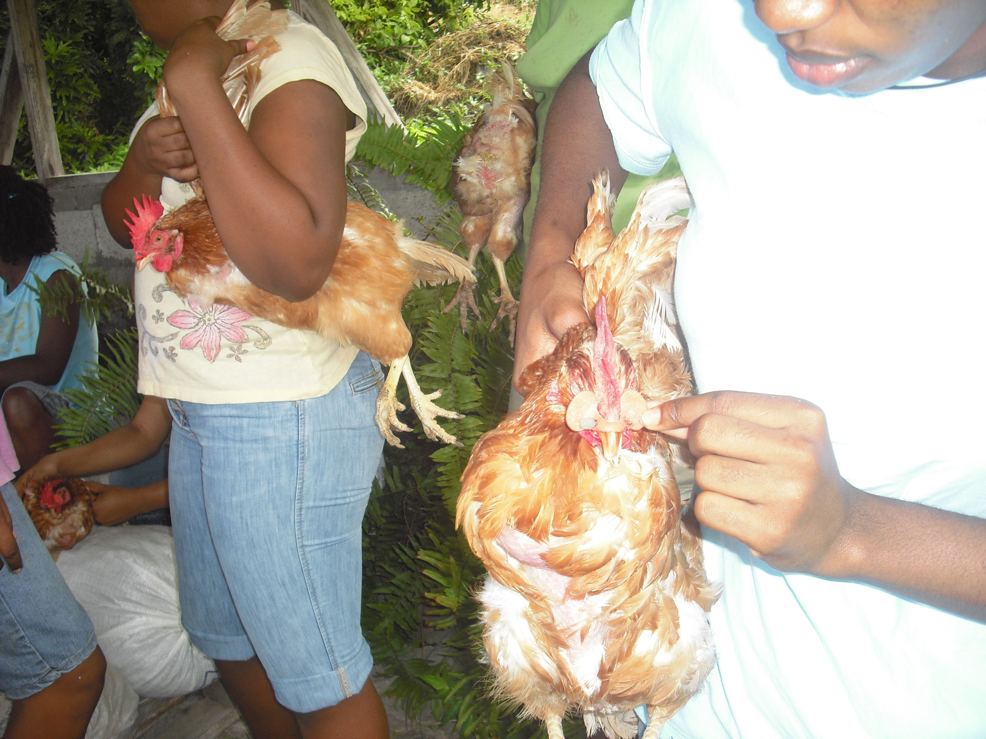 Full Agriculture SBA on Poultry(Final Draft Sample) - Dominica Based